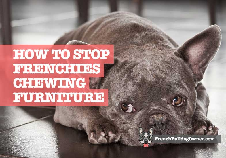 do french bulldog puppies chew furniture