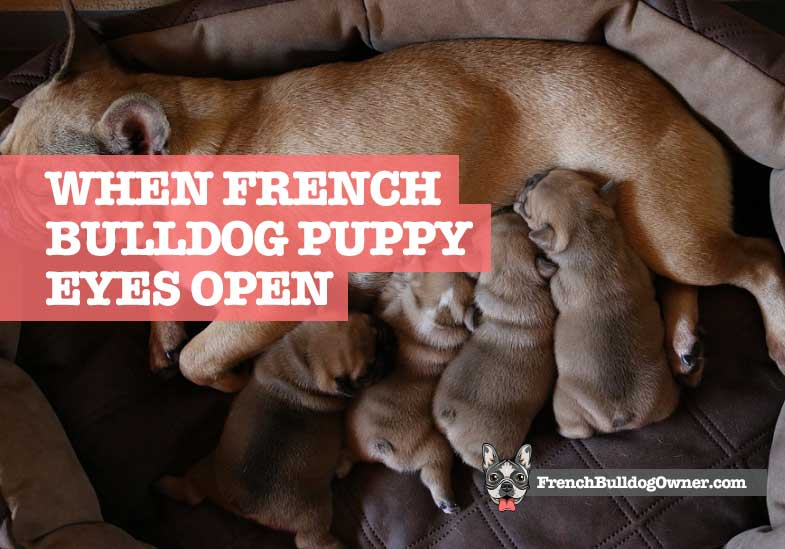 When Do French Bulldog Puppies Open Their Eyes