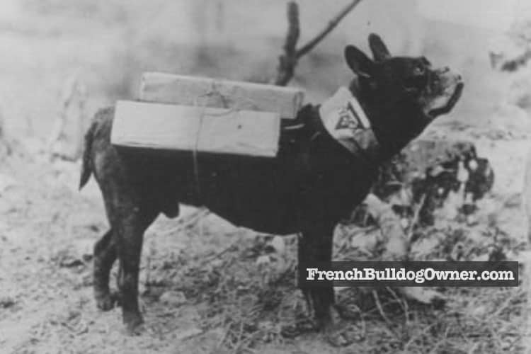 french bulldog first world war