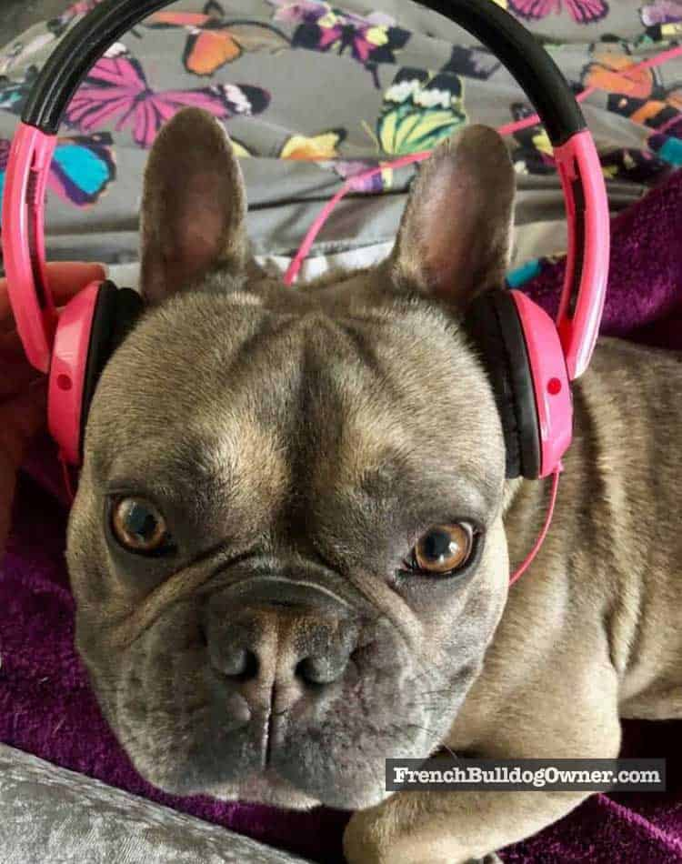french bulldog with headphones