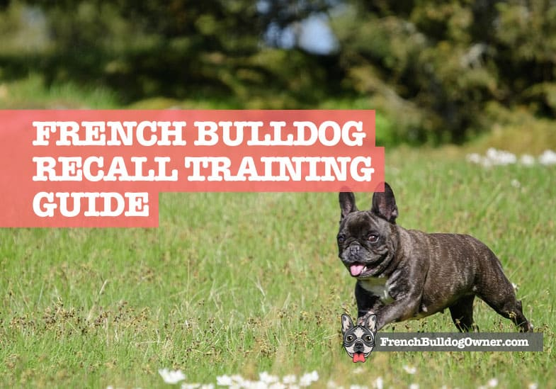 French Bulldog Recall Training to Come Back
