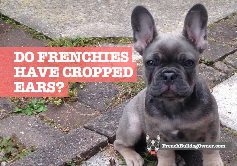 french bulldog cropped ears