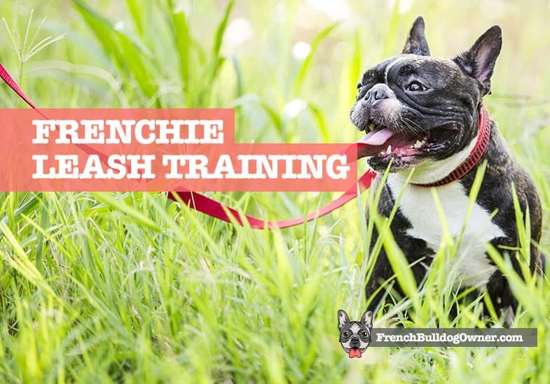 french bulldog puppy leash training