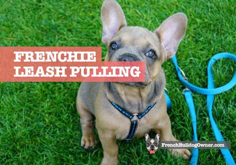 french bulldog pulling leash