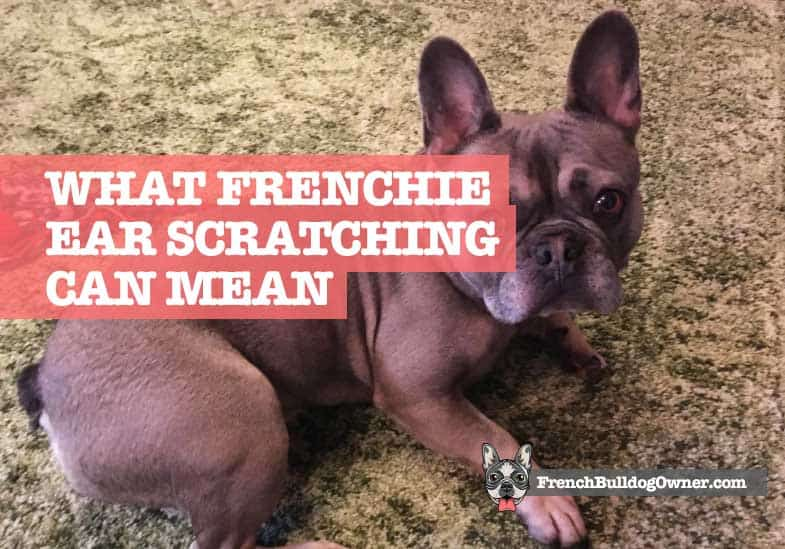 Why Does My French Bulldog Keep Scratching His Ears