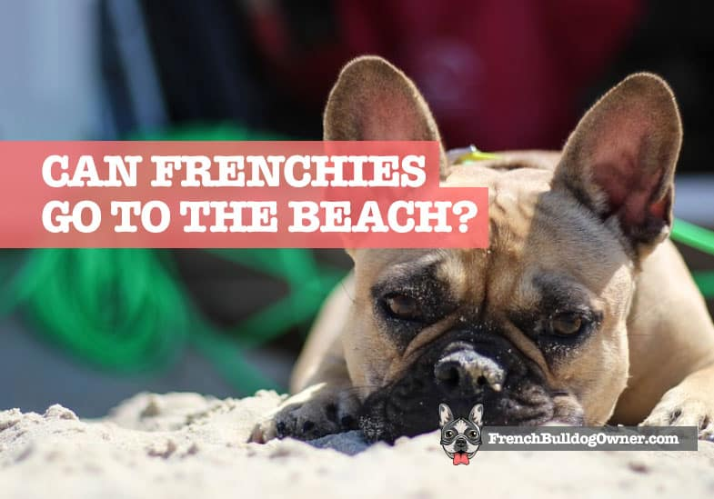 Can French Bulldogs Go to the Beach