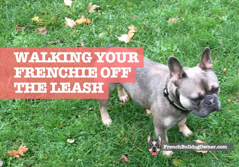 Are French Bulldogs Good Off the Leash