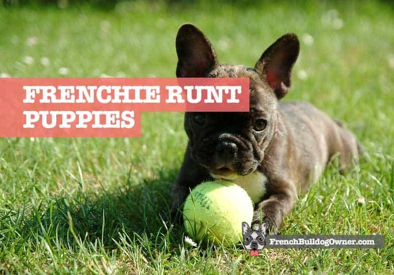 french bulldog runt