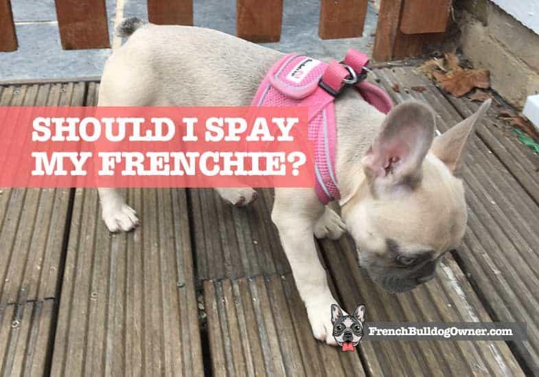 should I spay my Frenchie