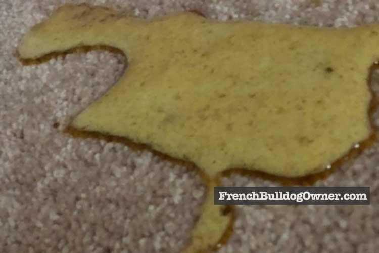 French bulldog vomits every morning