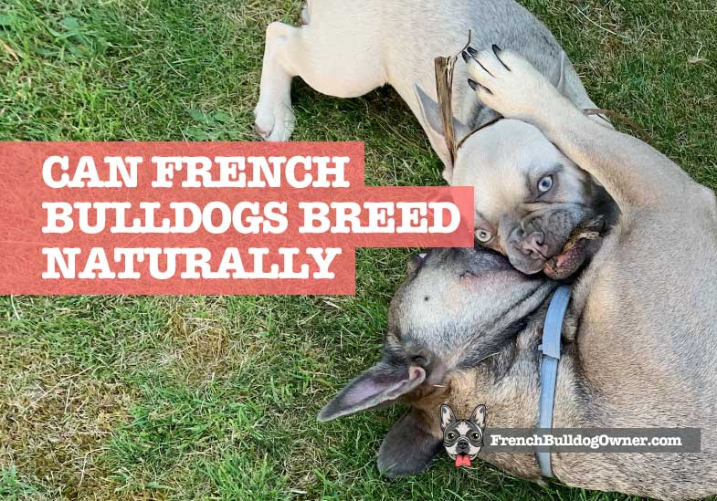 can french bulldog mate naturally