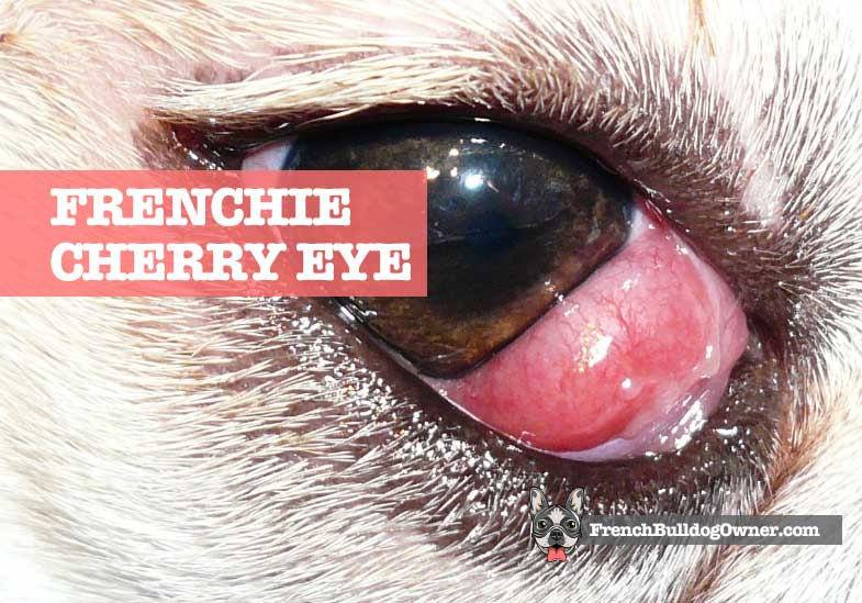 French Bulldog Cherry Eye Problems Treatments Surgery Costs