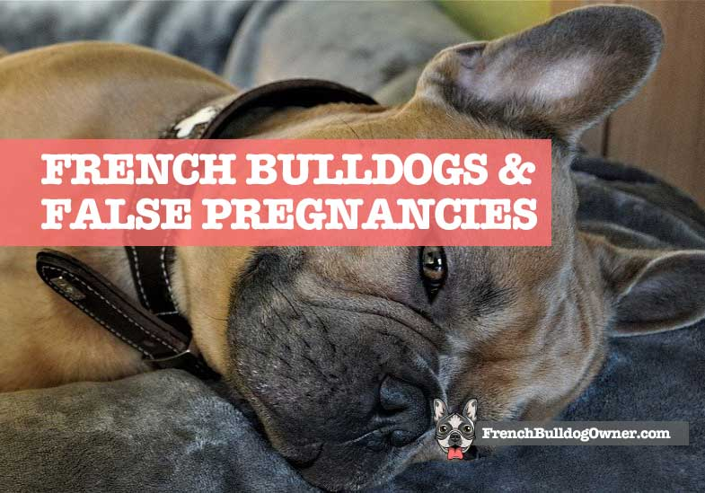 french bulldog false pregnancy