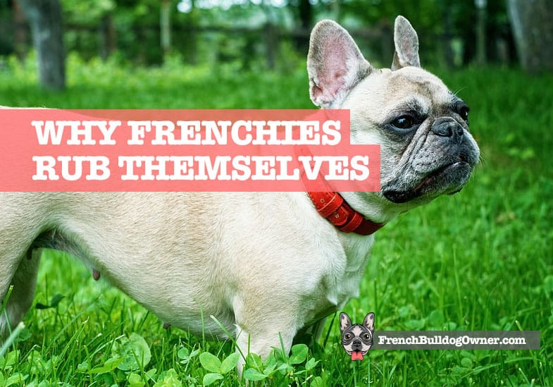 Why Do French Bulldogs Rub Themselves Rubbing The