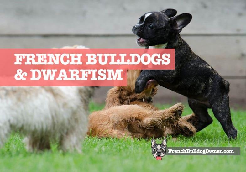 dwarf french bulldog