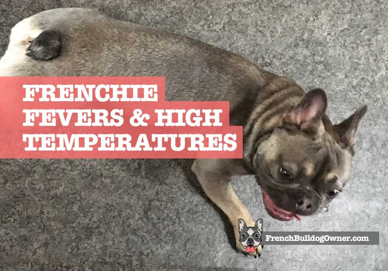 French Bulldog has fever