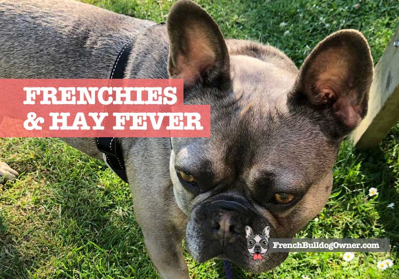 Can French Bulldogs Get Hay Fever