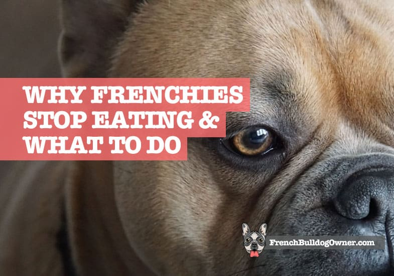 French Bulldog Not Eating