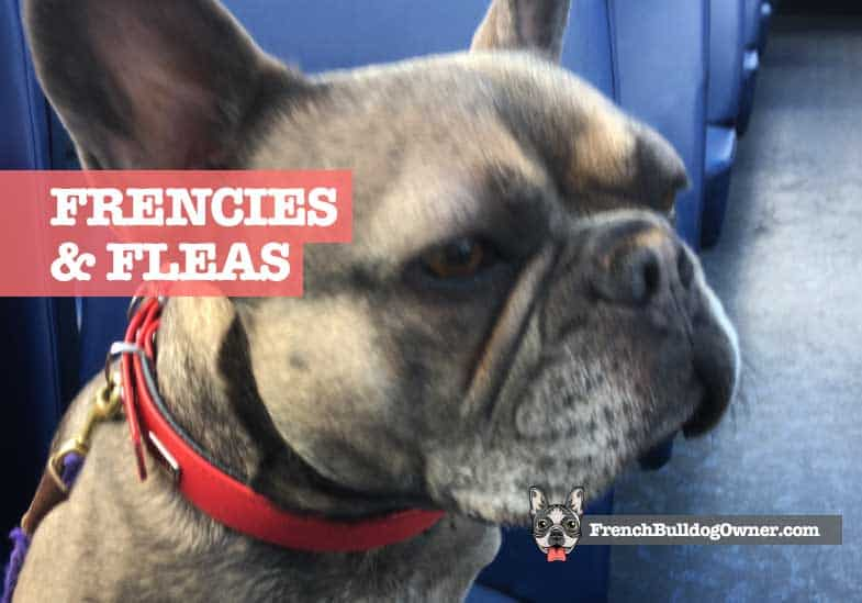 are french bulldogs prone to fleas