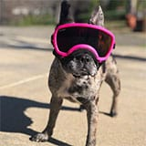 motorcycle goggles for a french bulldog