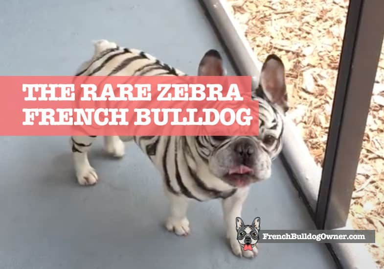 zebra french bulldog with tiger stripes