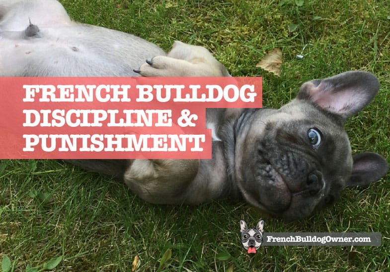 how to discipline a french bulldog puppy