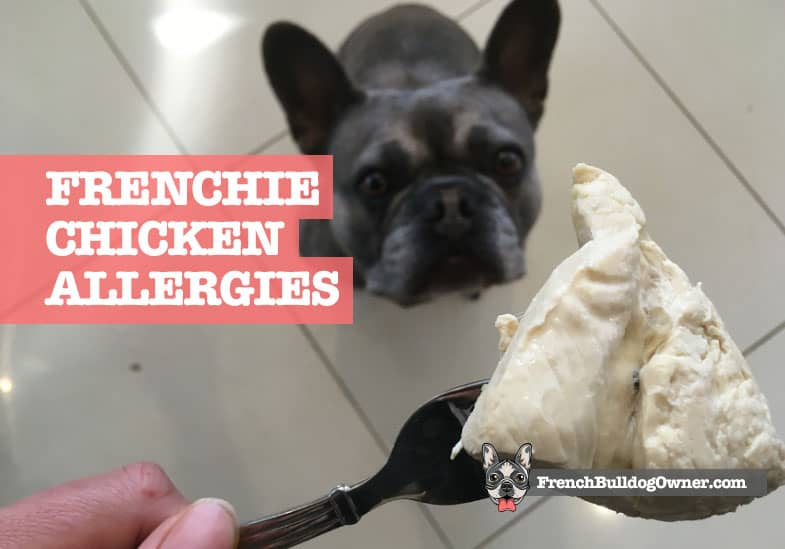 can french bulldogs eat chicken