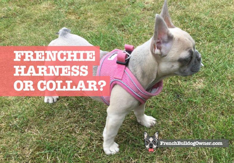 french bulldog harness or collar