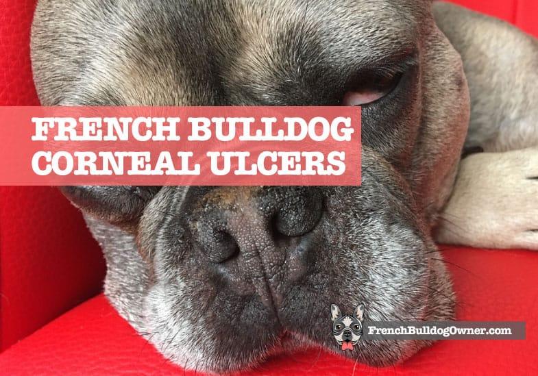 french bulldog corneal ulcer treatment