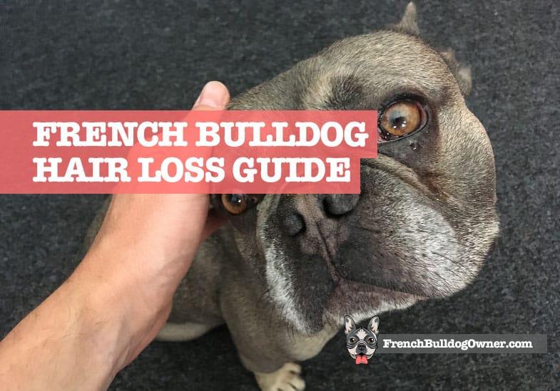 french bulldog hair loss
