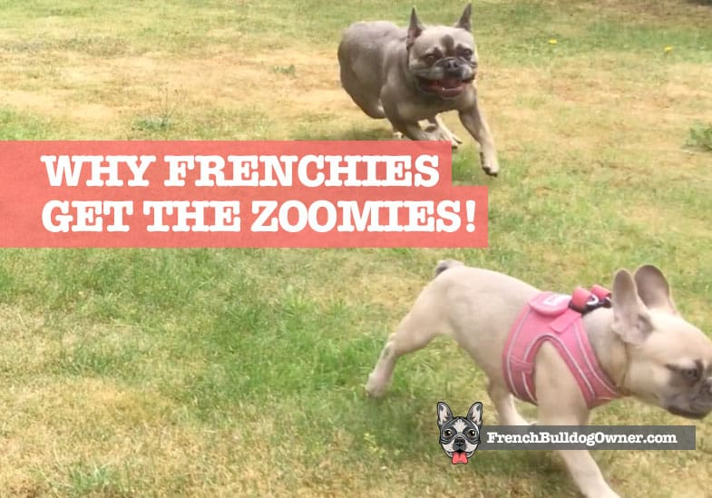 frenchie zoomies