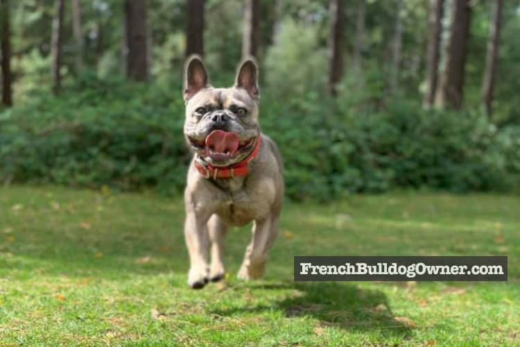 frenchie jumping
