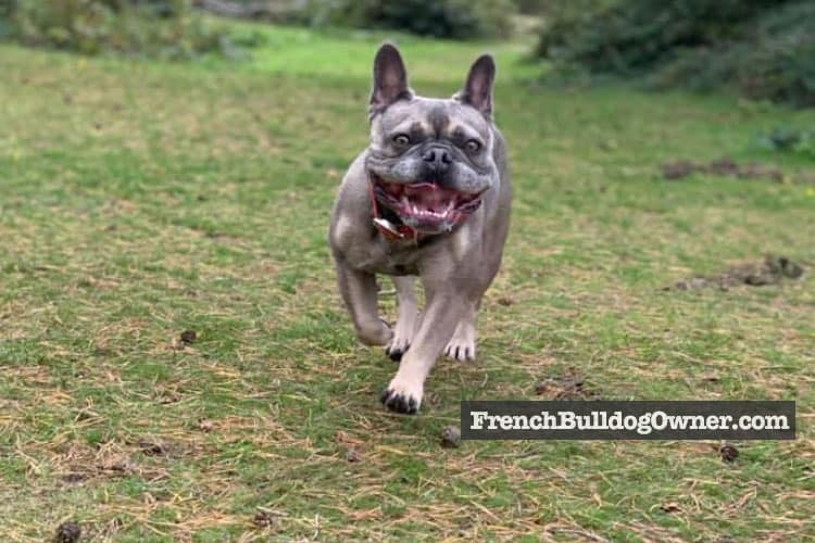 french bulldog zoomies
