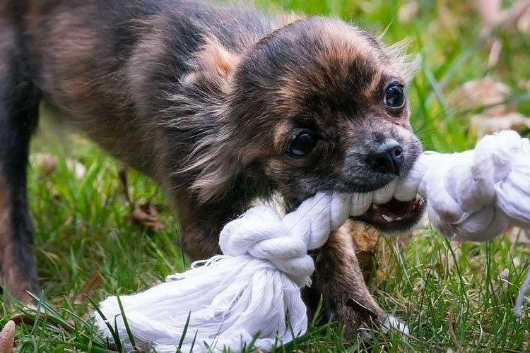 Chihuahua kills someone
