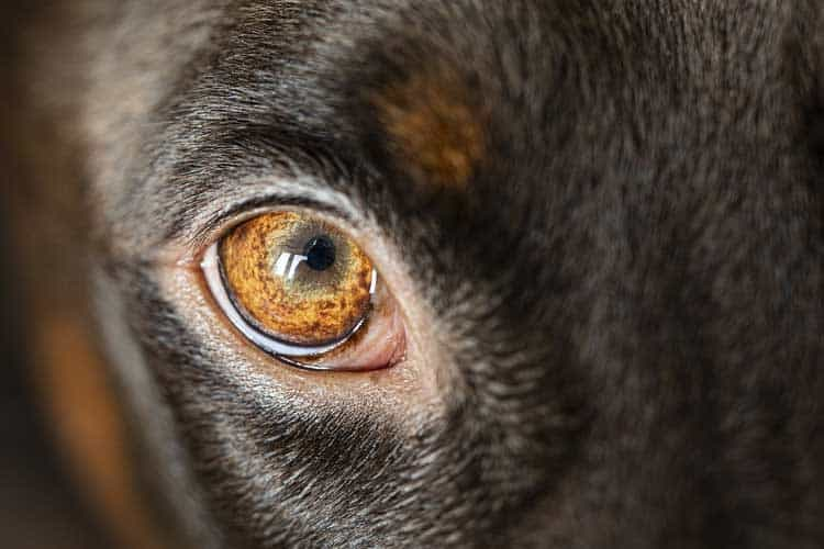 How to remove hard crust from dogs eyes